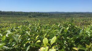 Mate Tee Plantage